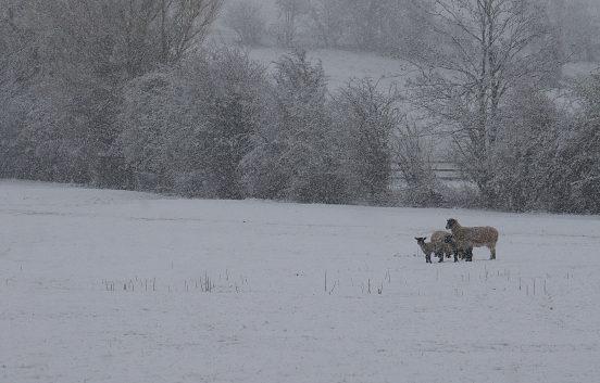 Winter sheep in field